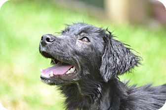 Flat-Coated Retriever/Spaniel (Unknown Type) Mix Puppy for adoption in San Francisco, California - Waldo