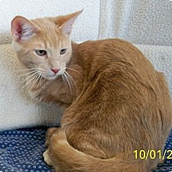 Photo 2 - Domestic Shorthair Cat for adoption in Sacramento, California - Cougar W