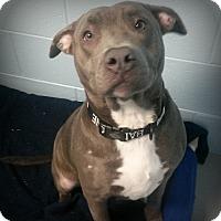 Adopt A Pet :: Amelia - Muskegon, MI