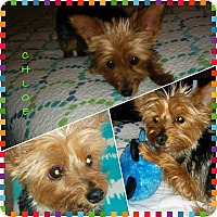 Adopt A Pet :: Chloe - Mississauga, ON