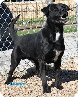 Labrador Retriever Mix Dog for adoption in San Antonio, Texas - Charlie