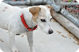 Jack Russell Terrier Mix Dog for adoption in Hanna City, Illinois - Marigold