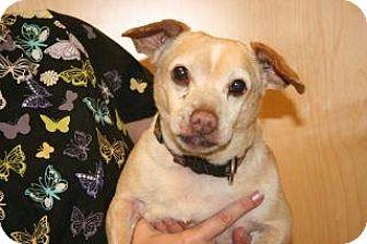 Chihuahua/Dachshund Mix Dog for adoption in Wildomar, California - Mojo