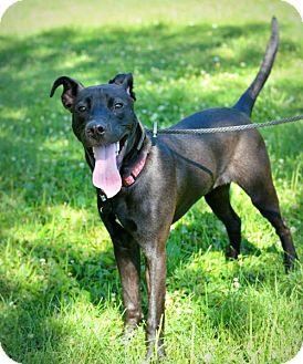 Pit Bull Terrier Mix Dog for adoption in Lincoln, Nebraska - Levi