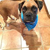 Boxer Dog for adoption in Austin, Texas - Mavi