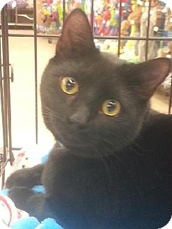 Bombay Cat for adoption in Maryville, Tennessee - Blackie