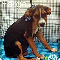 Italian Greyhound Mix Puppy for adoption in Kimberton, Pennsylvania - Fargo