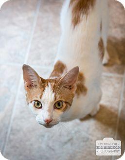 Domestic Shorthair Cat for adoption in Leander, Texas - Julius