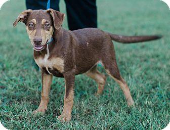 Australian Shepherd/Doberman Pinscher Mix Puppy for adoption in Seneca, South Carolina - Dean $250