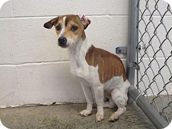 Jack Russell Terrier Dog for adoption in Chester, Illinois - Enzo
