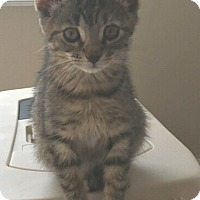 Adopt A Pet :: Lucy-9-10 WEEKS - Naperville, IL