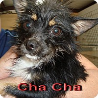 Chihuahua/Wirehaired Fox Terrier Mix Dog for adoption in Coleman, Texas - Cha-Cha