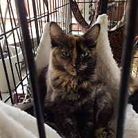 Calico Kitten for adoption in Monrovia, California - Robin
