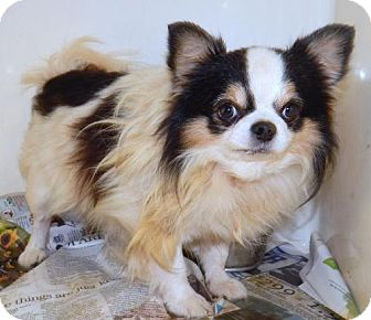 Chihuahua Dog for adoption in Anderson, South Carolina - FRANKIE