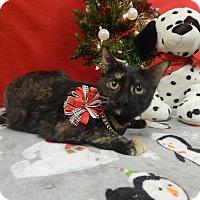 American Shorthair Kitten for adoption in Holden, Missouri - Ruby