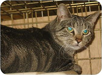 Domestic Shorthair Cat for adoption in Acme, Pennsylvania - Thumper