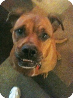 RUBY | Adopted Dog | Morris, IL | Boxer/Rhodesian ...