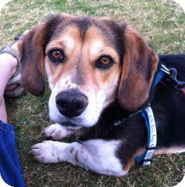 Beagle Mix Dog for adoption in Phoenix, Arizona - Maverick