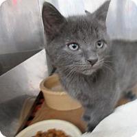 Adopt A Pet :: Kittens Blues Brothers - Miami, FL