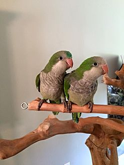 Parakeet - Quaker for adoption in Blairstown, New Jersey - Baby Quakers - fostering in CT