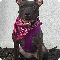 Pit Bull Terrier Mix Dog for adoption in Staten Island, New York - Lovely