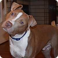 Pit Bull Terrier Mix Dog for adoption in Durham, North Carolina - Red