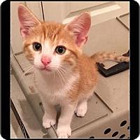 Domestic Shorthair Kitten for adoption in Waldorf, Maryland - Kicks