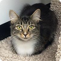 Domestic Mediumhair Cat for adoption in Lake Elsinore, California - Jemma