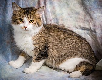 Domestic Shorthair Kitten for adoption in Anna, Illinois - VENUS