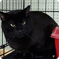Domestic Shorthair Cat for adoption in Marlinton, West Virginia - Dana