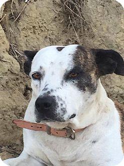 Bull Terrier Mix Dog for adoption in BONITA, California - Betty Davis