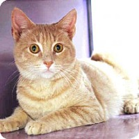 Domestic Mediumhair Cat for adoption in Plano, Texas - JASPER