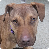 Rhodesian Ridgeback/Beagle Mix Dog for adoption in North Olmsted, Ohio - Orchid-Foster Needed