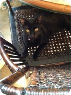 Domestic Shorthair Cat for adoption in Wenatchee, Washington - Jingles