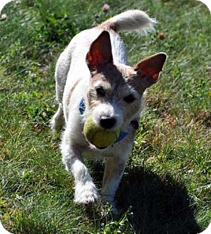 Jack Russell Terrier Dog for adoption in Rhinebeck, New York - Rocky 4