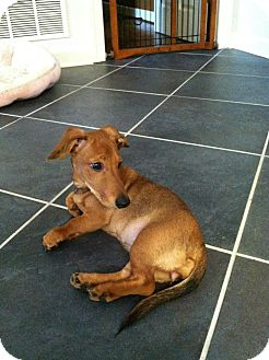 Dachshund Mix Puppy for adoption in Bedford, Virginia - Prissy