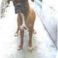 Adopt A Pet :: BOOTSI - Sunderland, MA