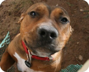 American Pit Bull Terrier/Cattle Dog Mix Dog for adoption in Tempe, Arizona - Elvira