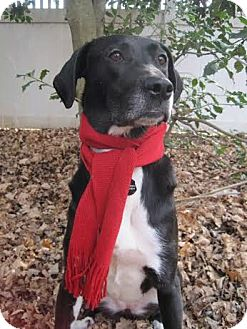 Labrador Retriever Mix Dog for adoption in Silver Spring, Maryland - Daisy Duke