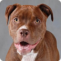 Pit Bull Terrier/American Staffordshire Terrier Mix Dog for adoption in Chicago, Illinois - Ted