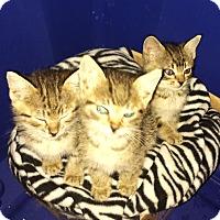 Adopt A Pet :: kittens - 2 girls/1boy - Malvern, AR