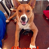 Adopt A Pet :: Chapel - Orangeburg, SC