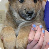 Adopt A Pet :: TEDDY BEAR PUPS B - Corona, CA