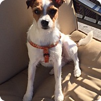 Adopt A Pet :: Sophie in Dallas - Dallas/Ft. Worth, TX