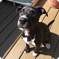 Adopt A Pet :: Olive - Groton, MA