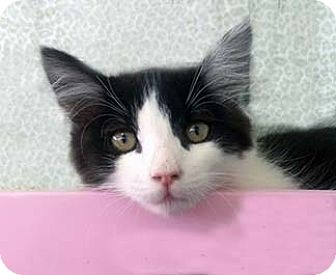 Domestic Shorthair Kitten for adoption in Tiburon, California - Benjamin