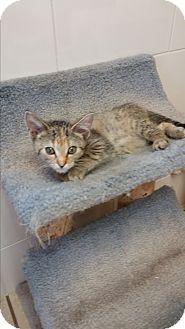 Domestic Shorthair Kitten for adoption in Chippewa Falls, Wisconsin - Quintessa