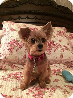 Yorkie, Yorkshire Terrier Dog for adoption in St. Petersburg, Florida - Sophie