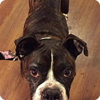 Boxer Dog for adoption in Woodbury, Minnesota - Micka