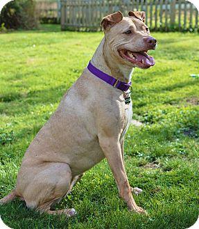 Labrador Retriever/American Staffordshire Terrier Mix Dog for adoption in Snohomish, Washington - Gabby,super sweet love bug!